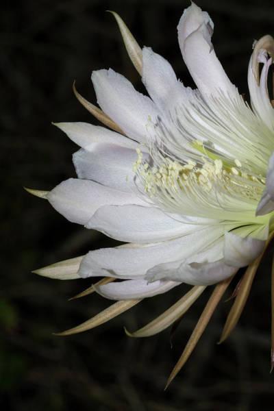 Photograph - Applecactus Flower Closeup by Paul Rebmann
