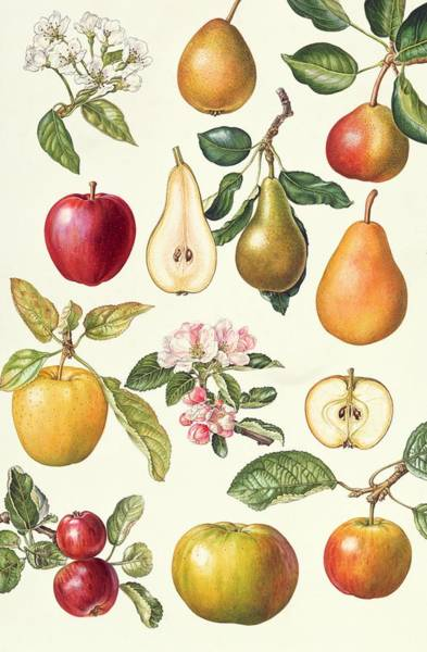 Golden Delicious Wall Art - Painting - Apples And Pears by Elizabeth Rice