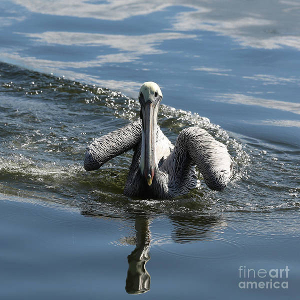 Wall Art - Photograph - Approaching Pelican by Carol Groenen