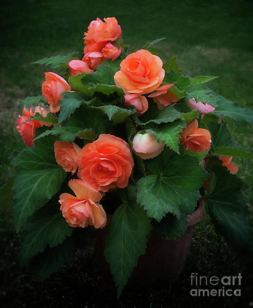 Photograph - Apricot Begonia by Ann Jacobson