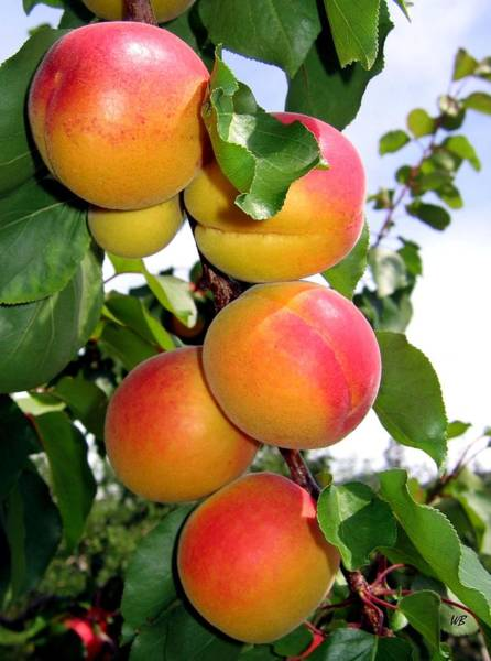 Photograph - Apricots by Will Borden