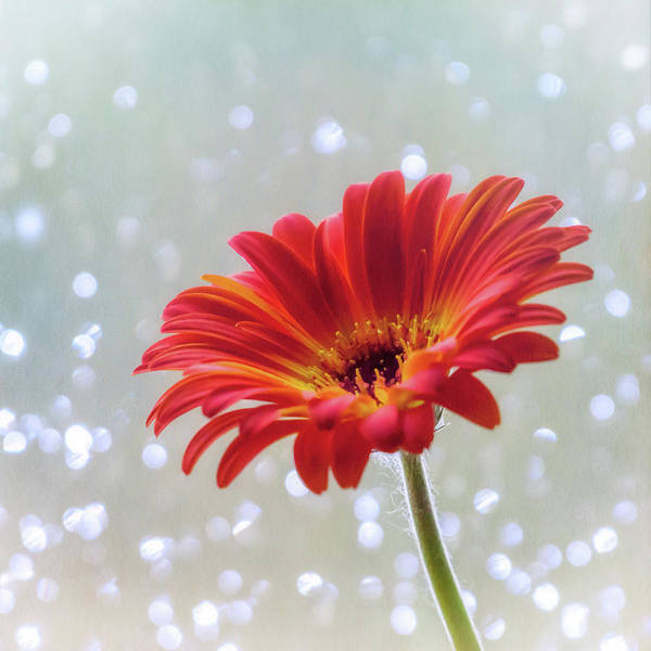 Photograph - April Showers Gerbera Daisy Square by Terry DeLuco