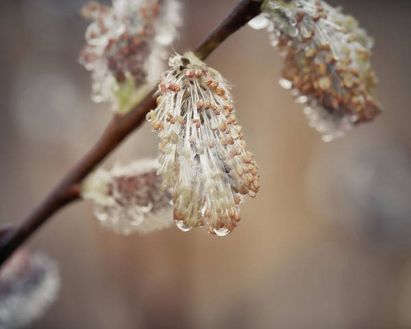 Willow Photograph - April Showers by Susan Capuano