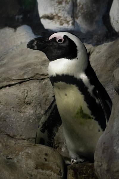 Photograph - Aquarium Penguin by Terry DeLuco