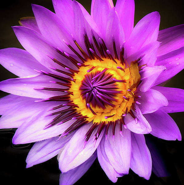 Photograph - Aquatic Bloom In Lavender And Yellow by Julie Palencia