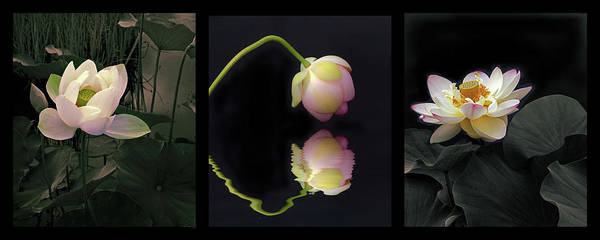 Pink Lotus Flower Photograph - Aquatic Garden Triptych by Jessica Jenney