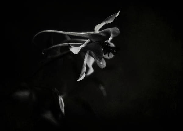 Photograph - Aquilegia Black And White by Rebecca Sherman