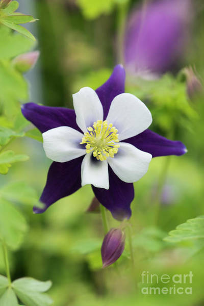 Wall Art - Photograph - Aquilegia Swan Violet And White by Tim Gainey