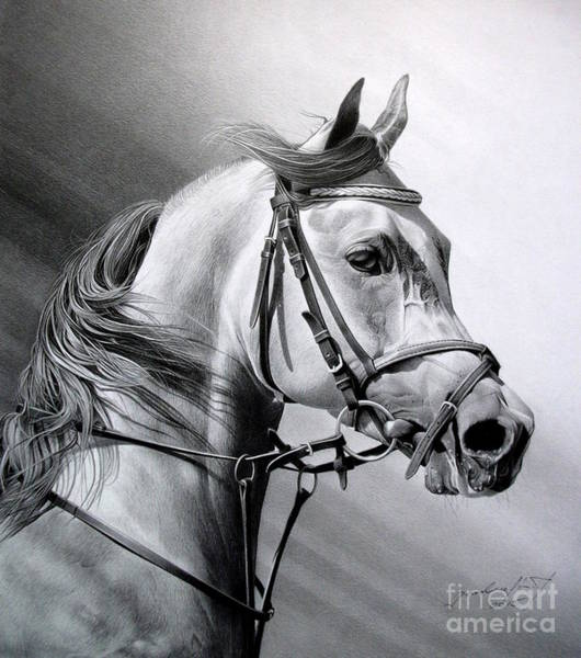 Equine Drawing - Arabian Beauty by Miro Gradinscak