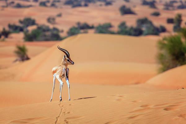 Wall Art - Photograph - Arabian Gazelle by Alexey Stiop