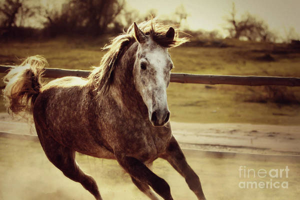 Photograph - Arabian Horse Galloping by Dimitar Hristov