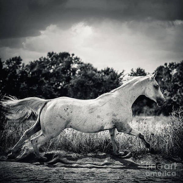 Photograph - Arabian Horse Running In The Field Black And White by Dimitar Hristov