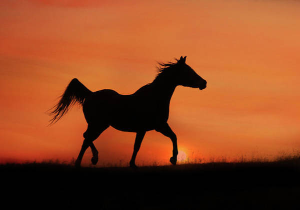 Prancing Horse Photograph - Arabian Horse Sunrise by Stephanie Laird