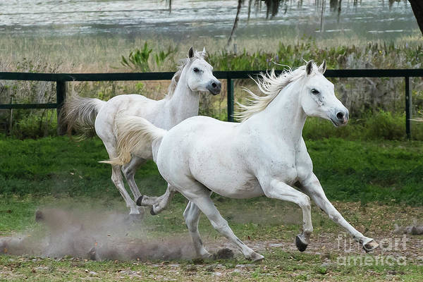 Photograph - Arabian Horses Running by Michael D Miller