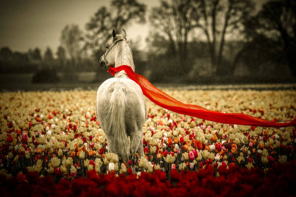 Photograph - Arabian In A Tulip Field by Wes and Dotty Weber