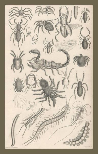 Wall Art - Drawing - Arachnides. Myriapoda by Dreyer Wildlife Print Collections