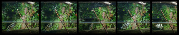 Photograph - Archer Fish Preying On Crickets by Dan Friend