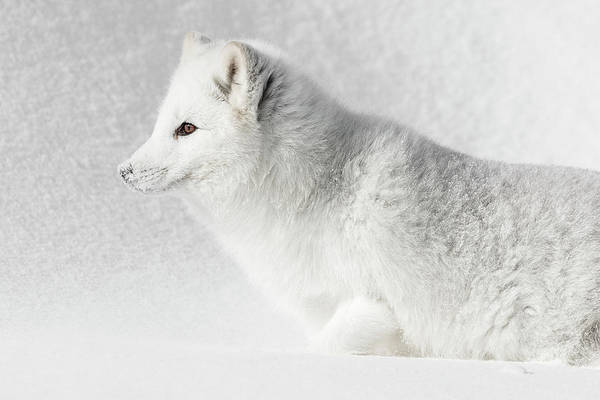 Photograph - Arctic Camouflage by Wes and Dotty Weber