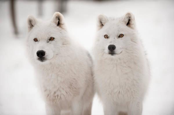 Arctic Wolf Photograph - Arctic Duet by PNDT Photo