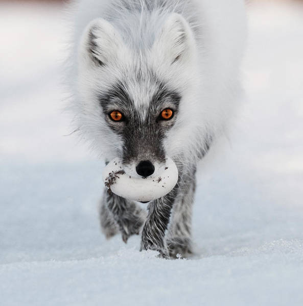 Photograph - Arctic Fox And Snow Goose Egg by Sergey Gorskov
