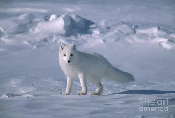 Wall Art - Photograph - Arctic Fox On The North Slope by Yva Momatiuk John Eastcott