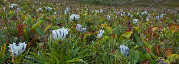 Photograph - Arctic Gentian Blooming In The Alpine by Cascade Colors