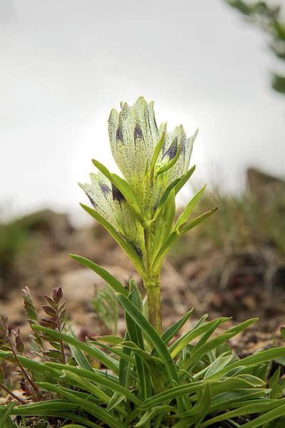 Wall Art - Photograph - Arctic Gentian by Rich Leighton