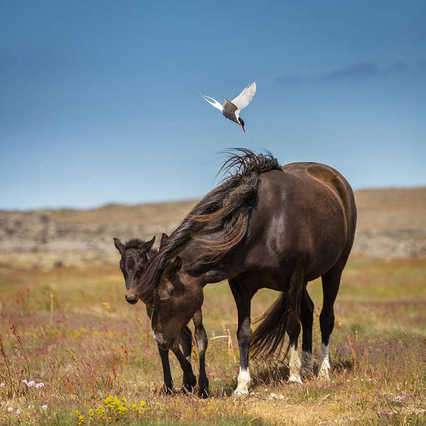 Mare And Foal Photograph - Arctic Tern Attacking Mare by Panoramic Images