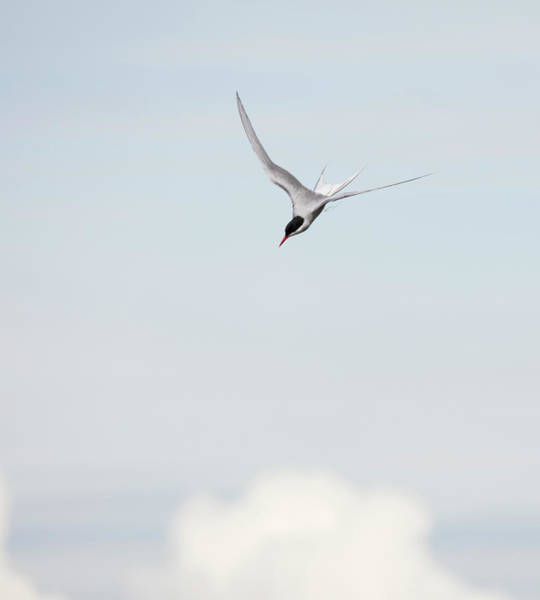 Photograph - Arctic Tern Diving by Gloria Anderson