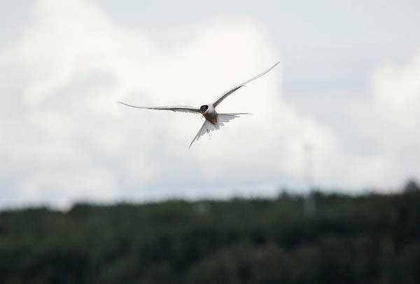 Photograph - Arctic Tern In Flight by Gloria Anderson
