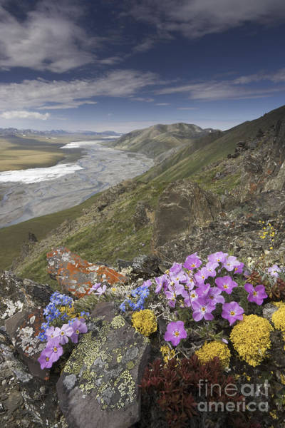 Photograph - Arctic Wildflowers, Alaska by Art Wolfe/MINT Images