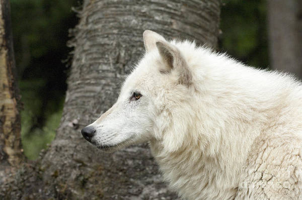 Arctic Wolves Photograph - Arctic Wolf - On Watch by Sandra Bronstein
