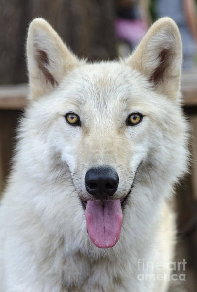 Arctic Wolves Photograph - Arctic Wolf by Eddie Yerkish