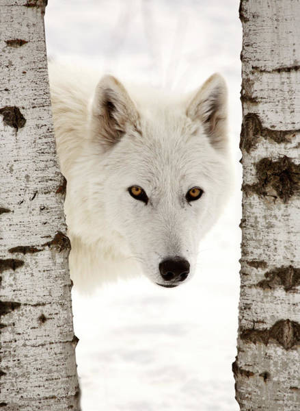 Habitat Digital Art - Arctic Wolf Seen Between Two Trees In Winter by Mark Duffy