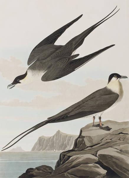 Wall Art - Painting - Arctic Yager by John James Audubon