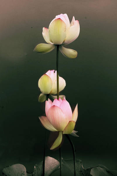 Pink Lotus Flower Photograph - Arise To Meet The Moon by Jessica Jenney