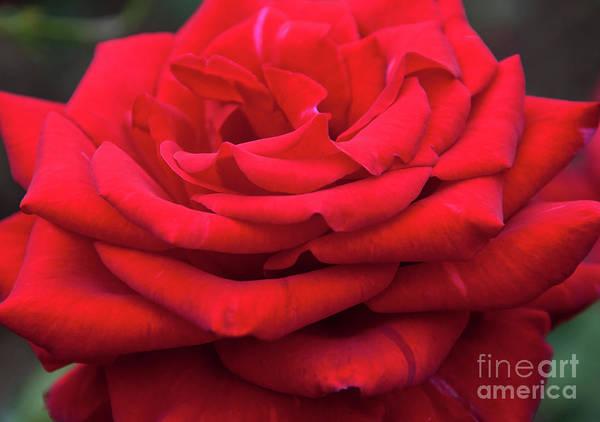 Photograph - Arizona Territorial Rose Garden - Red Velvet by Kirt Tisdale