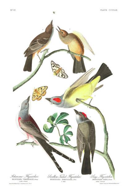 Flycatcher Painting - Arkansaw Flycatcher by John James Audubon