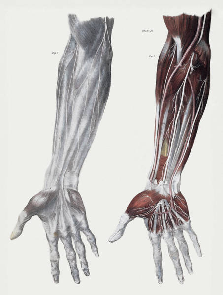Wall Art - Photograph - Arm Nerves by Sheila Terry