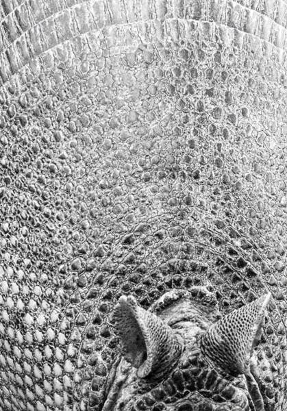 Photograph - Armadillo Textures by Alice Gipson
