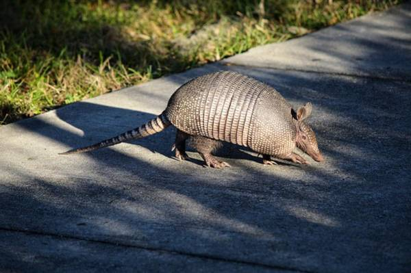 Photograph - Armadillo Walking by Joseph Caban