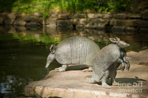 Photograph - Armadillos by Julia Rigler