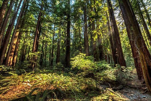Photograph - Armstrong National Park Redwoods Filtered Sun In The Forest by Toby McGuire