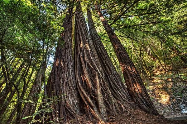 Photograph - Armstrong National Park Redwoods Wall Of Trees In The Forest by Toby McGuire