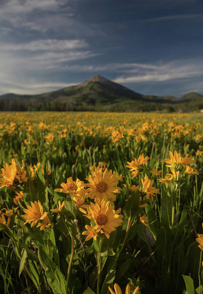 Wall Art - Photograph - Arnica At Hahn's Peak by Bridget Calip