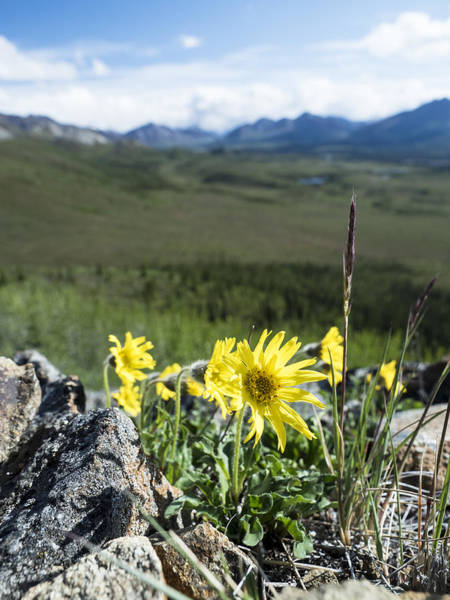 Photograph - Arnica On The Summit by Ian Johnson