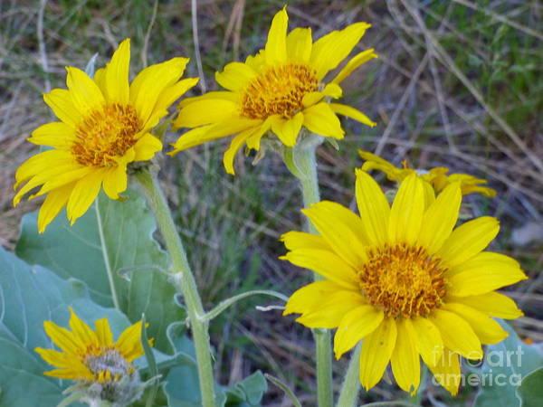 Photograph - Arrowleaf Balsamroot Flower by Charles Robinson