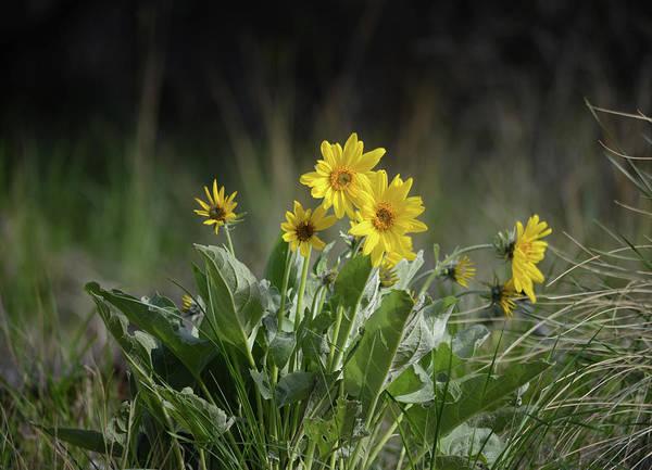 Arrowleaf Balsamroot Photograph - Arrowleaf Balsamroot In Bloom by Whispering Peaks Photography