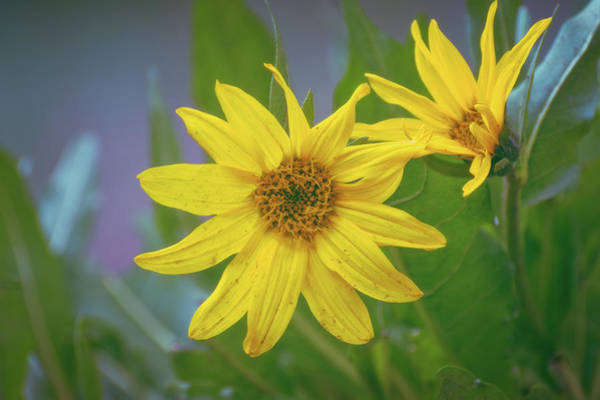 Photograph - Arrowleaf Balsamroot by Jason Coward