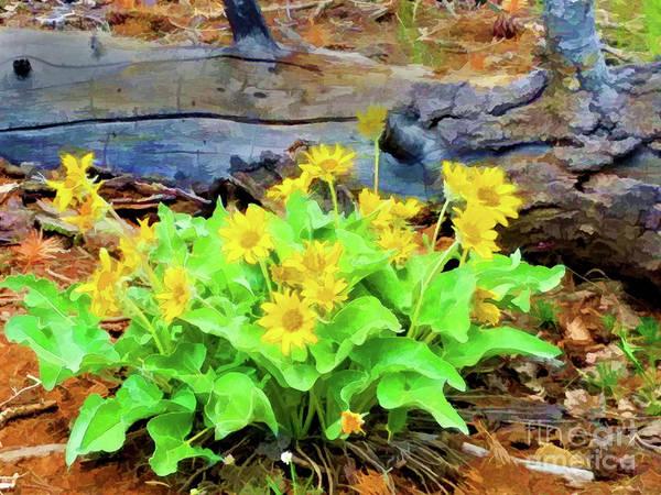 Balsamorhiza Sagittata Photograph - Arrowleaf Balsamroot Wildflower by Jennifer Stackpole
